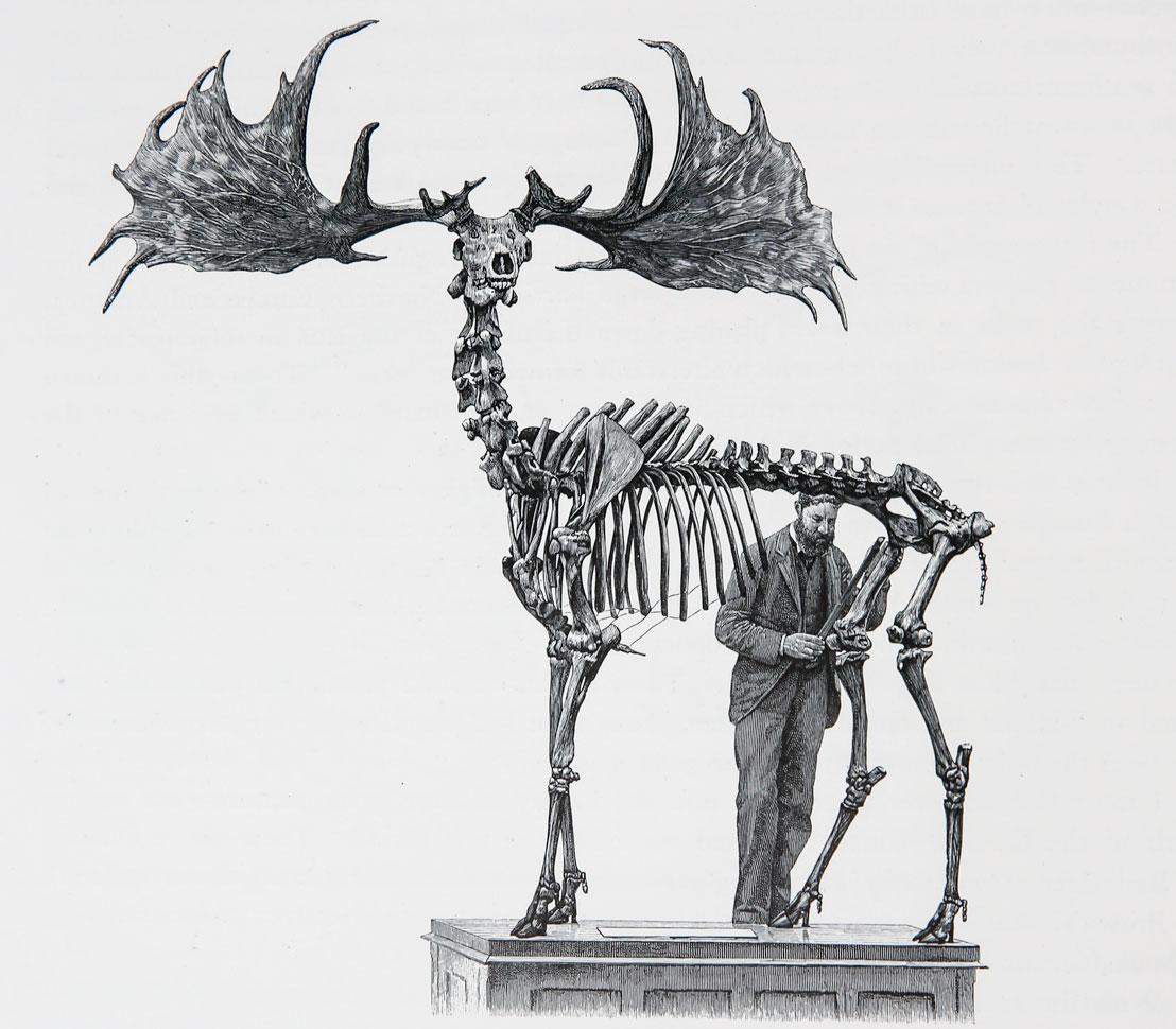 Irish-Elk-Skelaton