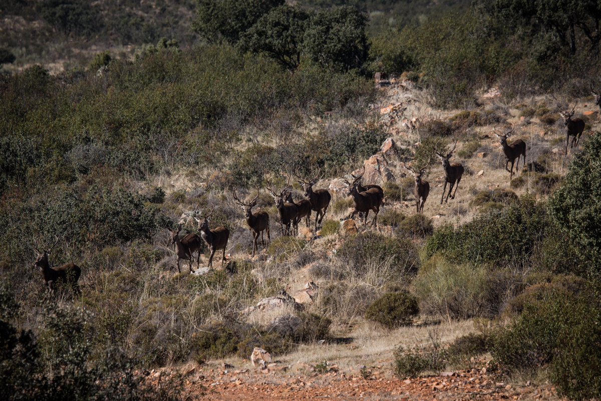 Herd of Deer Passing the Line