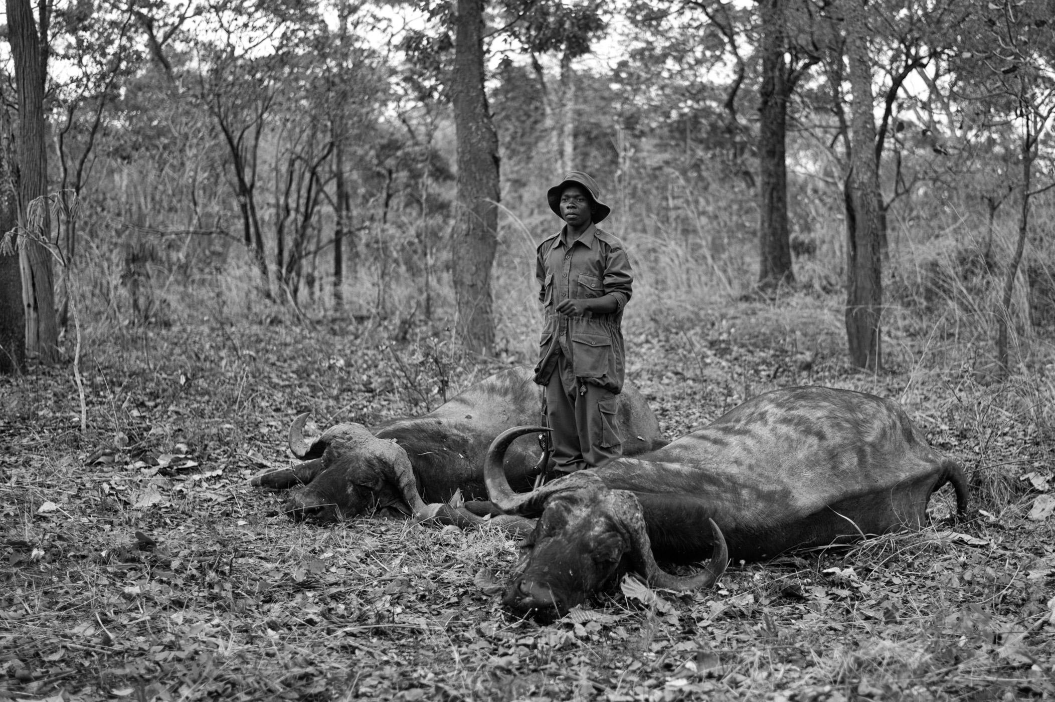 Cape Buffalo, Dugga Boys, Double Rifle, westley richards