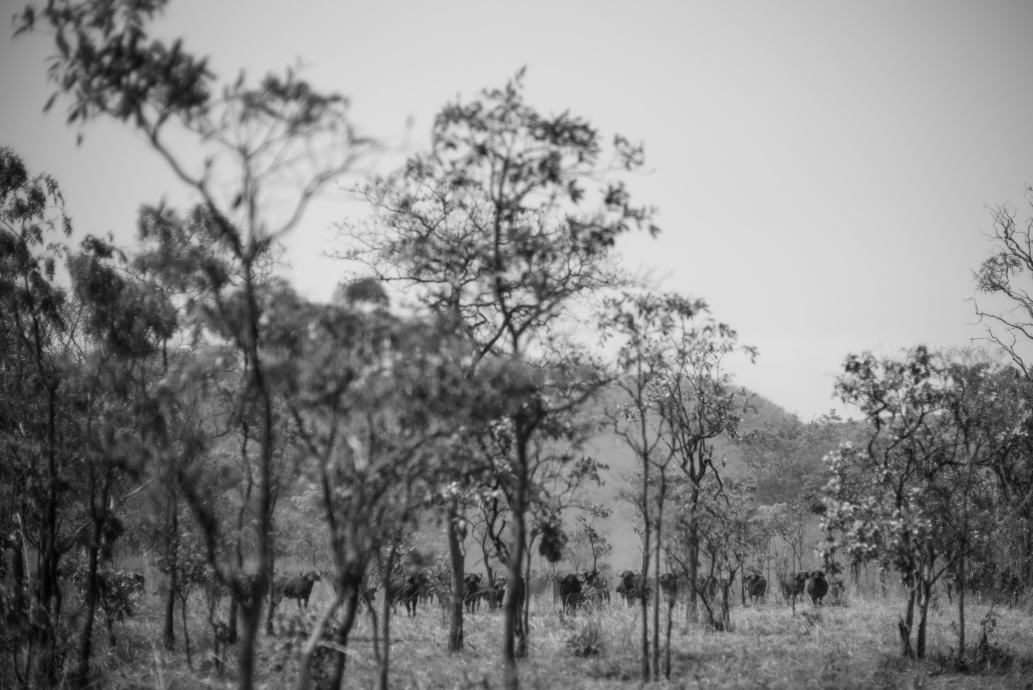 Cape Buffalo, Tanzania, Westley Richards