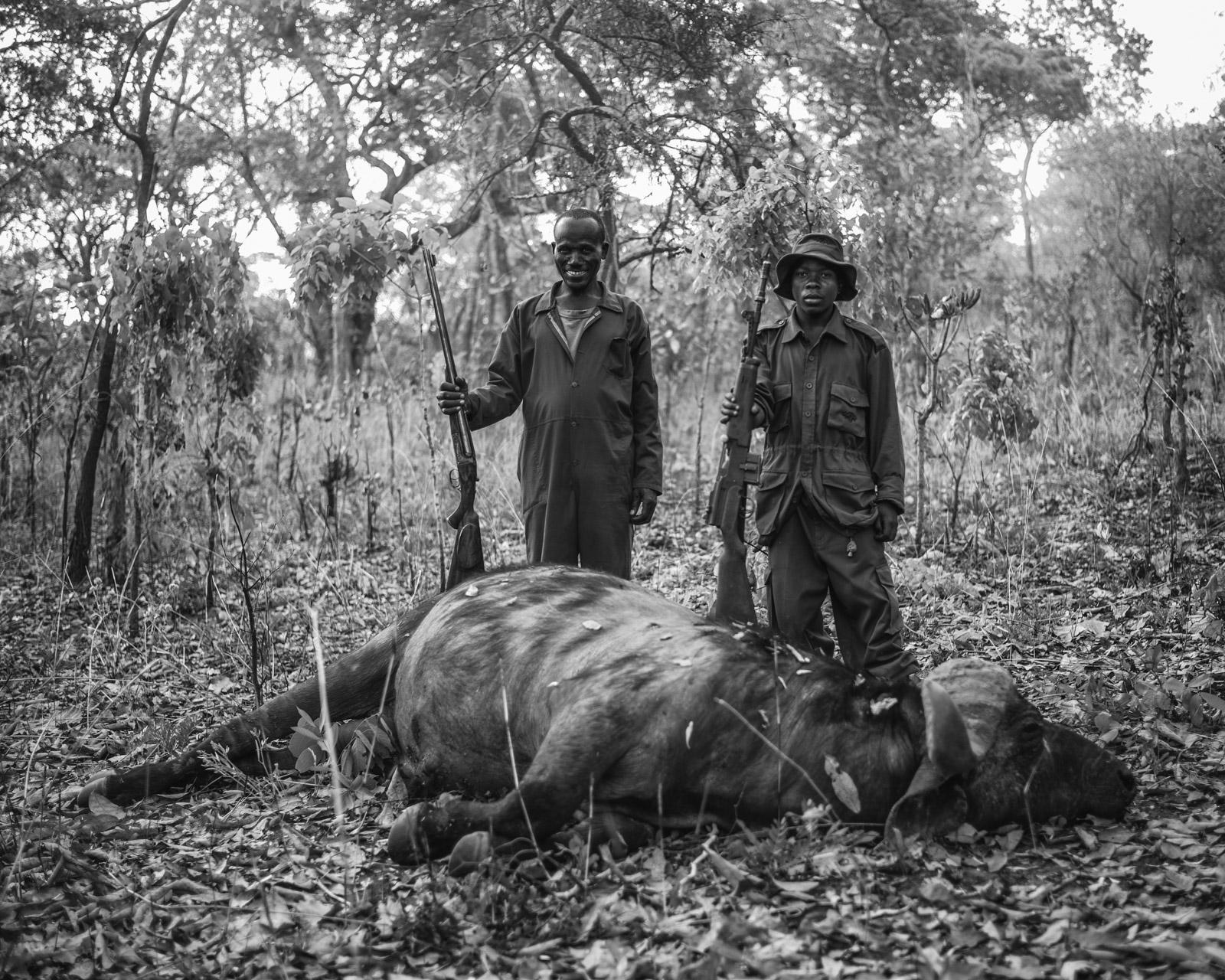 Westley Richards, Safari, Cape Buffalo